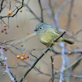 Тучная перелётная птица Стоковые Изображения