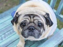 Тучная собака мопса Стоковое фото RF