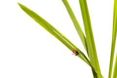 Тучное тикание на зеленом листе. стоковое фото rf