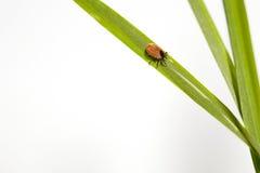 Тучное тикание на зеленом листе. Стоковые Изображения RF