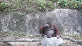 Тучное усаживание обезьяны орангутана акции видеоматериалы