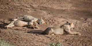 Тучные ленивые львы Стоковое Изображение