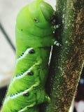Тучный зеленый червь томата стоковое изображение rf