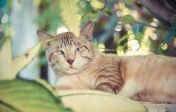 Тучный снежный кот показывает тревожность и предупреждает выражение в Стоковые Фото