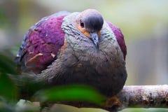 Тучный сопенный crested триперстк-голубь Стоковое Изображение RF