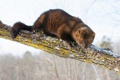 Тучный fisher кладя через дерево стоковые фотографии rf