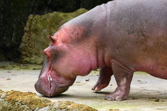 тучный hippopotamus Стоковое Изображение