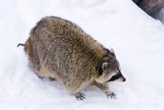 тучный racoon Стоковое фото RF