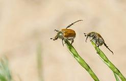 2 тучных жука делая ежедневные тренировки Стоковое фото RF
