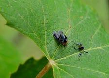 Туша мухы на лист Стоковые Фотографии RF