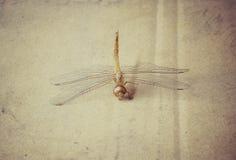 Туша смерти Dragonfly Стоковое Фото
