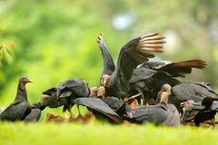 Туша с хищниками Живая природа Панама Хищник уродской черной птицы черный, atratus Coragyps, сидя в зеленой вегетации, острослови стоковая фотография