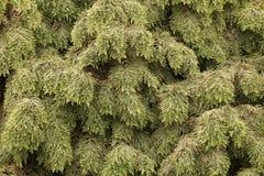 Туя дерева Стоковое Изображение RF