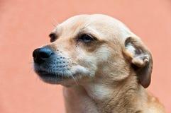 тщательно портрет собаки слушая Стоковые Фото