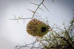 Тщательно разработает африканская смертная казнь через повешение гнезда птицы ткача от тернового дерева в Сенегале, Африке Стоковые Изображения RF