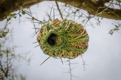 Тщательно разработает африканская смертная казнь через повешение гнезда птицы ткача от тернового дерева в Сенегале, Африке Стоковое фото RF