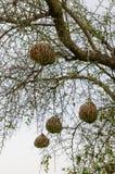 Тщательно разработают африканские гнезда птицы ткача вися от тернового дерева в Сенегале, Африке Стоковые Изображения