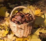 тщедушные грибки стоковая фотография rf