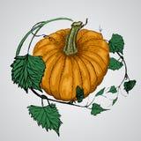 Тыква вектора вкусная и здоровая vegetable Стоковые Фотографии RF