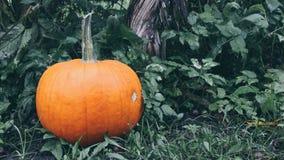 Тыква в саде Стоковая Фотография