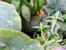 Тыква в саде стоковые фото