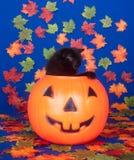 тыква голубого кота предпосылки черная стоковая фотография rf