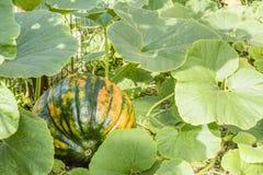 Тыква растя в саде Стоковое Изображение