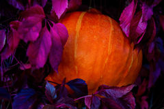 Тыква среди листьев одичалых виноградин Стоковое Изображение RF