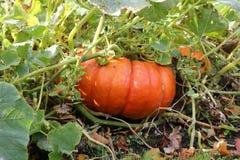 Тыква хеллоуина еды Стоковая Фотография RF