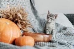 Тыква хеллоуина и любознательный котенок на серой предпосылке стоковые фото