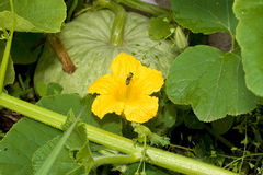 тыква цветка пчелы Стоковые Фотографии RF