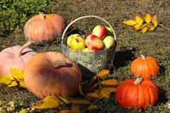 Тыквы и корзина яблок в саде на траве стоковые фото