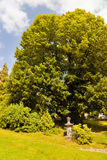 Тысяча старого лет дерева липы стоковое фото