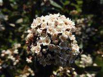 Тысячелистник обыкновенный белого цветка общий стоковое изображение