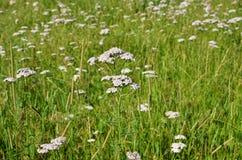 Тысячелистник обыкновенный заживление травы Стоковая Фотография