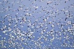 Тысячи гусынь снега летают против голубого неба над охраняемой природной территорией Bosque del апаша Национальн, около Сан Антон Стоковое Изображение