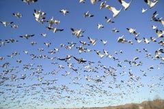 Тысячи гусынь снега летают против голубого неба над охраняемой природной территорией Bosque del апаша Национальн, около Сан Антон Стоковое Изображение RF