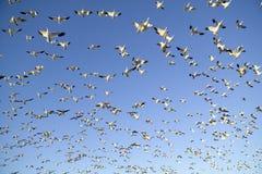 Тысячи гусынь снега летают против голубого неба над охраняемой природной территорией Bosque del апаша Национальн, около Сан Антон Стоковые Фотографии RF