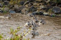 Тысячи зебр через реку Mara Стоковая Фотография RF