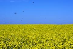 Тысячи насекомых над полем цветя рапса стоковое изображение rf