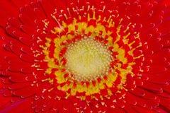 Тычинка маргаритки Стоковые Изображения RF