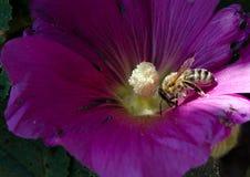 Тычинка пчелы и петуньи стоковые изображения