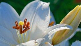 Тычинки лилии Стоковое Фото
