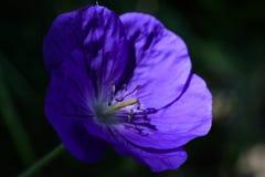 Тычинки на красивом фиолетовом цветке в светлом пятне стоковое изображение rf
