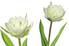 2 тюльпана Terry белых закрывают вверх изолированный на белой предпосылке Стоковая Фотография RF