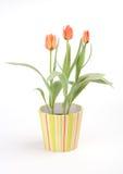 тюльпаны бака Стоковые Изображения