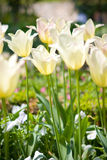 тюльпаны белые Стоковые Изображения RF