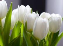 тюльпаны белые Стоковые Изображения
