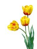 тюльпаны букета Стоковые Изображения