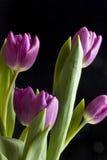 тюльпаны вертикальные стоковое изображение